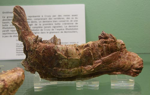 Cruzy Museum: jaw of the ornithopod Rhabdodon, with its characteristic grooved teeth